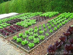 garden-plots-lettuce-5286867